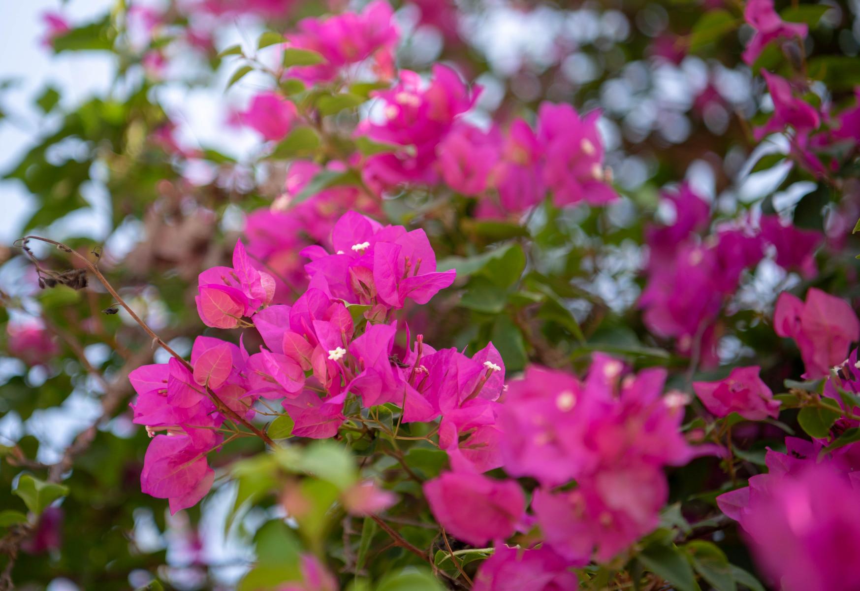 バリ島のブーゲンビリアの花