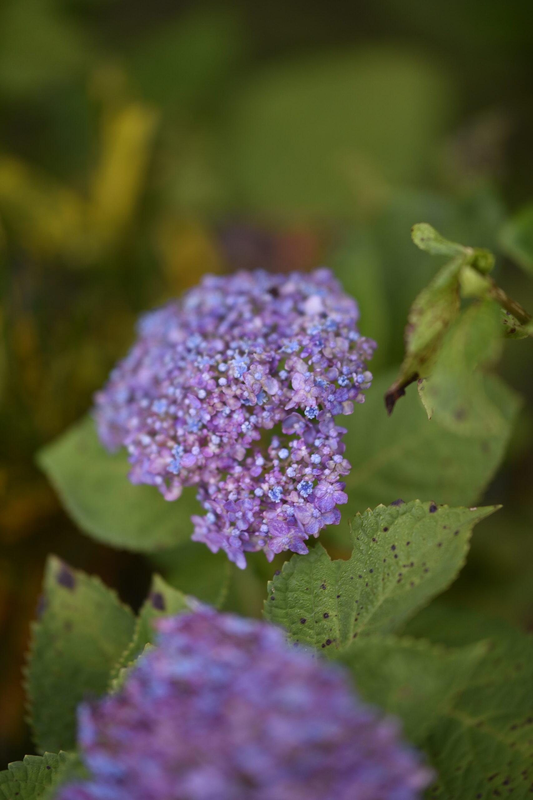 早朝の山紫陽花